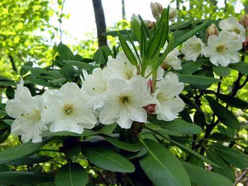 rhododendron_decorum