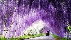 Wisteria-Flower-Tunnel-in-Japan-2
